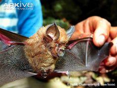 Andaman horseshoe bat -endangered