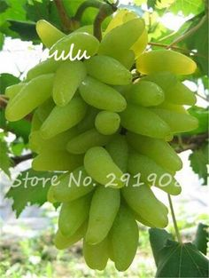 100 pcs Rare finger grape seed,Advanced fruit seed,Natural growth grapes Organic Delicious sweet bonsai potted plants for garden