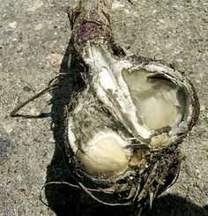 White rot of garlic in its symptoms is similar to Fusarium rot, however it attacks the growing garlic faster and is more likely to destroy the entire plant Allium, Herb Garden, Garlic, Herbs, Gardening, Blog, Lawn And Garden, Herbs Garden, Herb