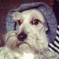 A white Schnauzer with bonnet ready to take a walk.....