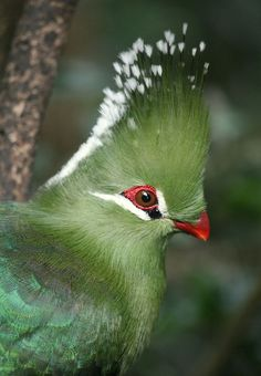 Livingstone's Turaco - A member of the Musophagidea family which means banana eaters