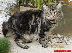 Maine Coon cat - http://cutecatshq.com/cats/maine-coon-cat-2/