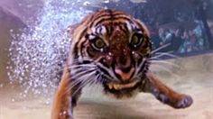 Amazing footage from the Tiger Temple at Australia Zoo in Queensland shows the animals leaping into the pool after pieces of meat, playing around with trainers and paddling in the water. Animals Amazing, Cute Animals, Tiger Temple, Tiger Conservation, Tigers Live, Tiger Fish, Cat Species, Australia Living, Big Cats