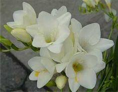 Fresia, è il mio fiore preferito. Il suo profumo è così buono e intenso da lasciarmi incantata