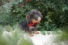 Willow Springs Miniature Wirehaired Dachshunds - Indiana http://www.willowspringsdachshunds.com/