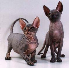 Sphynx kitten pair