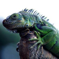 Green Iguana? ~ ©miguel valle de figueiredo via Flickr