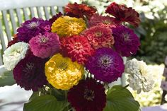 Zinnia ★ Benary s Giant Formula Mix ★Fresh Cut Flower of the Year 1999★ 60 Seeds
