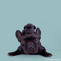 #bulldog #frenchbulldog #dog #bulldogs #bulldogfrances #frenchie #instadog #puppy #englishbulldog #dogs #bulldogsofinstagram #frenchies #dogsofinstagram #petstagram #instafrenchie #instabulldog #frenchiesofinstagram #love #frenchbulldogsofinstagram #pet #ilovemydog #igbulldogs_worldwide #frenchieoftheday #englishbulldogsofinstagram #englishbulldogs #bulldog_ig_community #フレンチブルドッグ #フレブル #thefrenchiepost #squishyfacecrew