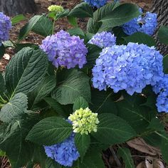 Beautiful hydrangeas!