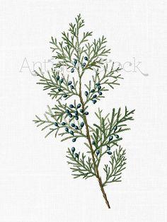 Western Red Cedar Botanical Illustration Modern Google