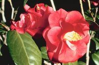 How to Prune Camellia Plants | eHow