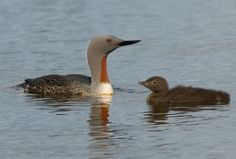 RED-THROATED LOON (a.k.a. Red-throated Diver)