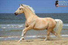 Palomino on the beach