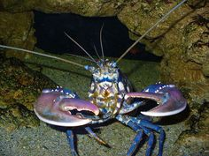 9e69c24b923909db2f645a9ecc31904c--american-lobster-black-sea.jpg (736×552)