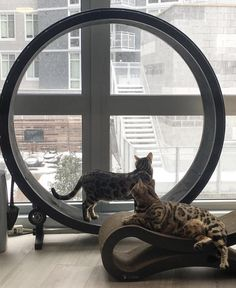 Look at these two cute cats enjoying a snowy day while exercising on the One Fast Cat Wheel! Kittens Cutest, Cute Cats, Funny Cats, Cat Exercise Wheel, Dog Organization, Unique Cats, Snowy Day, Sleepy Cat, Dog Cat