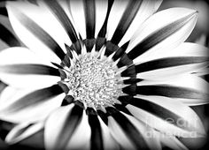 Modern Gazania - photograph by Clare Bevan. Fine art prints and posters for sale. #blackandwhitephotography #macroflowerart #clarebevan