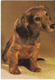 Winsome dachshund puppy.  View from the Birdhouse: Dear Abby: Dachshund Postcards
