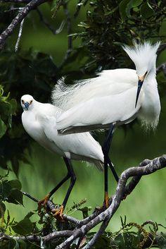 Snowy Egret pair, Jefferson Island, LA ユキコサギ