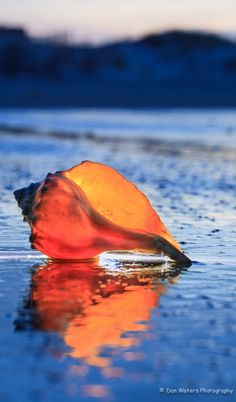 Conch Shell , from Iryna