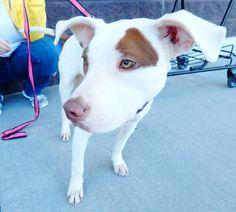 Bella - Dickson Petco Adopt-a-thon February 2016 Last Chance Pet Rescue (lastchancepetrescue-dickson@yahoo.com)
