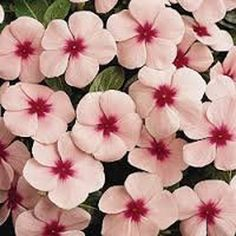 I love to plant this with the First Kiss blueberry! Peach Colors, Pink Color, Love Flowers, Beautiful Flowers, Everlasting Sweet Pea, Early Girl Tomato, Double Impatiens, Sweet Pea Seeds, Cotton Decor