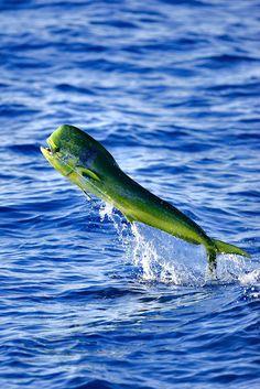 Love this shot and the gorgeous color contrast - Mahi-mahi, Dorado, Dolphin Fish Dorado(Coryphaena hippuris)... identifiable because of its unique shape and brilliant coloration.