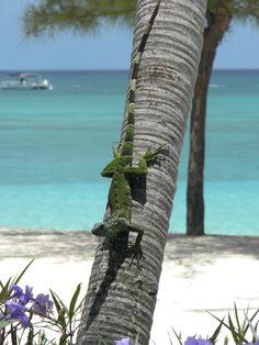 Green iguana of Grand Cayman, now considered invasive to native rock lizard and blue iguana.