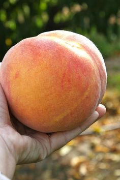 "Coeur D Lane, Idaho • Had the biggest, juiciest, messiest, best ""Okanogan"" peach ever! (Now let's see, that narrows it to about 1/2 of WA on up into Canada.)"