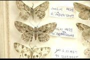 The secret behind a genetic mutation that led to the original speckled version of the peppered moth being replaced by a black variety… Peppered Moth, Natural Selection, Industrial Revolution, Current News, Genetics, The Secret, Place Card Holders, The Originals, Biology