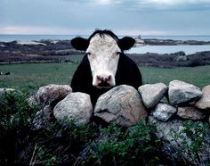 Malcolm Greenway, Block Island Cow