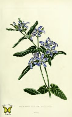 Blue flowered milkweed. Tweedia caerulea. Beautiful, star-shaped, true blue flowers on small, twining perennial to 3 feet tall. (1841) | From the botanical illustration collection of Swallowtail Garden Seeds. This image is in the public domain. Right click to download. Use as you choose.