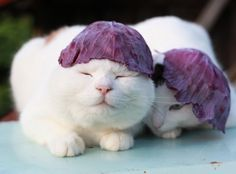 Hat of purple cabbage. Shiro and Mimi :) From: http://kagonekoshiro.blog86.fc2.com/