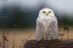 raspberrytart: Snowy Owl (Bubo scandiacus) (by *Ryan Shaw): What a vision it is too. Beautiful Owl, Animals Beautiful, Cute Animals, Nocturne, Owl Pictures, Cat Dog, Snowy Owl, Mundo Animal, Woodland Creatures