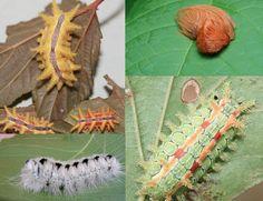 Les chenilles seraient des proies faciles sans leurs piquants venimeux ... ce qui permet à Dame Nature de nous offrir de si merveilleux papillons ....