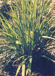 Whether or not it aids digestions or helps high blood pressure, lemongrass tea is a refreshing beverage. And if you live in a warm climate you can grow the plant yourself.data-pin-do=