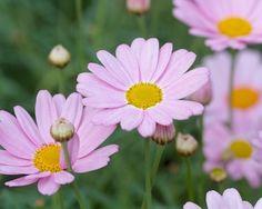 Argyranthemum Summit Pink 'Cobsing' (Daisy Crazy Series)
