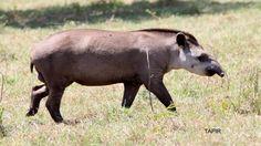 Brazilian Tapir by Bob Stamp