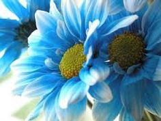 blue daisies - Google Search