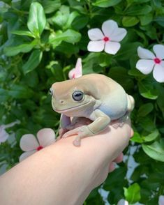 a soft boi. Cute Creatures, Beautiful Creatures, Cute Baby Animals, Animals And Pets, Whites Tree Frog, Pet Frogs, All Meme, Frog And Toad, Frog Frog