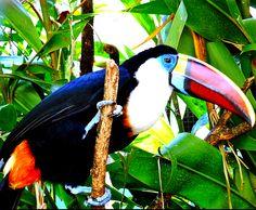 El criollo Tucán. Parque Generalisimo Francisco de Miranda (Parque del Este) Caracas-Venezuela