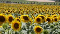 A group of riders cycle past a sunflower field during the 13th stage of the Tour de France cycling race from Muret to Rodez, France, on July 17, 2015.