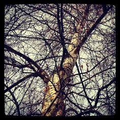 #birch #tree branches
