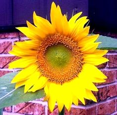 Sunflower from Twyla