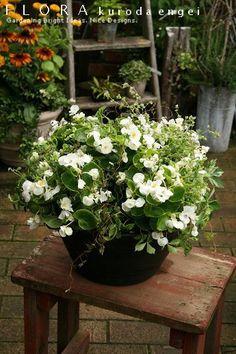 フローラのガーデニング・園芸作業日記-白いベゴニア 寄せ植え