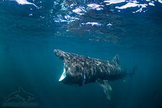basking shark, cetorhinus maximus, žralok obrovský