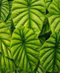 Alocasia cuprea at the Hawaii Tropical Botanical Garden