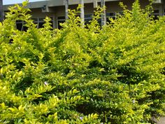 planta pingo de ouro mudas - Pesquisa Google