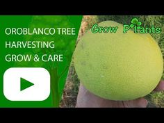 Oroblanco - Learn how to grow Oroblanco, plant information - climate, zone, uses, growth speed, water, light, planting & bloom