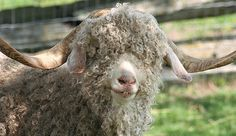 Angora goats are not only beautiful to the eye, but as fiber goats, they're valuable to the touch. Kept under ideal conditions, these goats' durable and soft mohair is money in the bank.